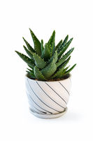 potted green aloe isolated