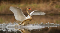 Mute swan landing on splashing water in spring nature