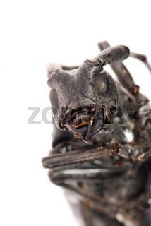 long horn beetle head