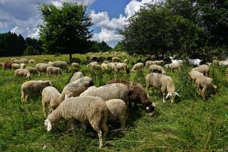 Schafherde auf der Schwäbischen Alb