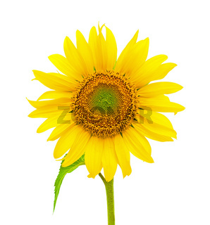 blooming sunflowers on a white background. front view.