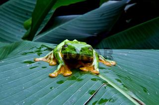 Blinking tree frog