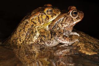 Mating guttural toads