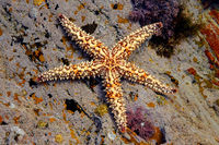 Colorful yellow and orange starfish in a coastal rock pool