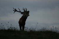 Silhouette of a dominant red deer stag roaring on horizon with sky in background