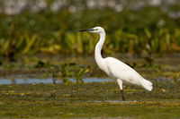 The little egret standing in a shallow water with green vegetation floating on a surface in wetland