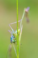nsect Roesel's Bush-cricket on a green grass leaf
