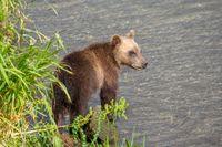 Brown bear cub in river