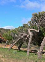 Pine trees at Pine Cliff resort, Albufeira, Algarve - Portugal