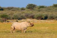An endangered black rhinoceros (Diceros bicornis) in natural habitat