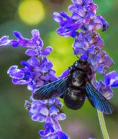 Violet carpenter bee on a sage flower