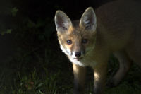 Red Fox, Wahnbachtalsperre, NRW, Rhineland, Rhein-Sieg-Kreis