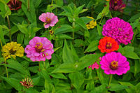 garden zinnia
