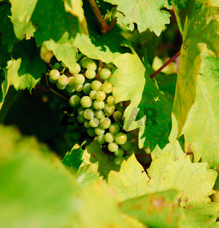 Bunch of fresh green grapes close-up