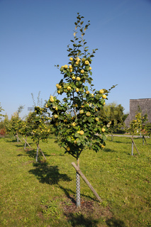 Cydonia oblonga, Quitte, Quince