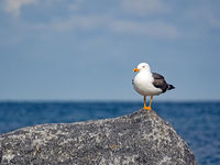A herring gull (Larus fuscus) on a rock at the North Sea coast of the island Helgoland
