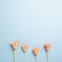 Pink dry flowers on blue background. top view, copy space