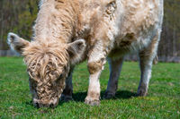 White Highland Cow. cow with long hair