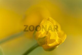 Kriechender Hahnenfuß (Ranunculus repens)
