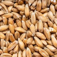 spelt wheat grains close up