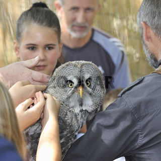 Burrowing owls,Athene cunicularia.