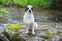 Animal portraits, a little chihuahua dog