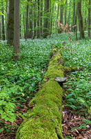 Wild garlic bloom in Hainich National Park, Thuringia, Germany