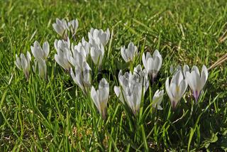 Frühlings-Knotenblume Maerzenbecher