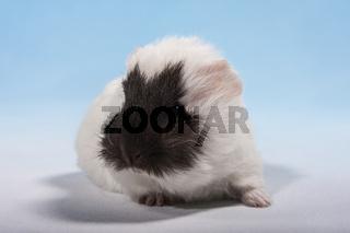 Schweizer Teddy Meerschweinchen Baby mit braunem