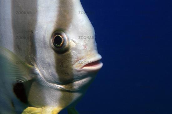 Langflossen Fledermausfisch, Longfin Batfish, Platax teira