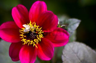 Biene auf rot pink blühender Dahlie