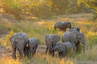 Herd of African elephants (Loxodonta africana) in late afternoon light