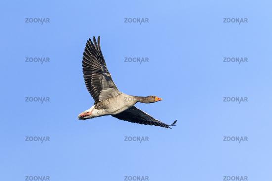 Greylag Goose adult bird in flight