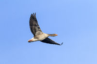 Greylag Goose adult bird in flight