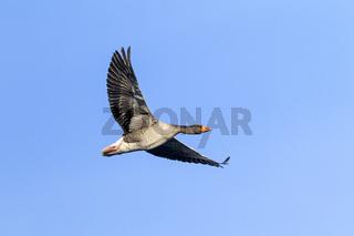 Graugans Altvogel im Flug