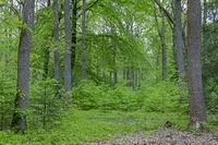 Oak - beech mixed forest in springtime / Quercus robur - Fagus sylvatica