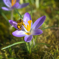 Bee flying to a purple crocus flower blossom