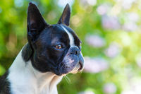 Boston terrier dog on blurred summer background
