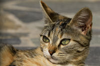 Portrait of a Greek cat