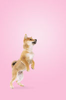 jumping shiba inu puppy dog in front of pink gradient background