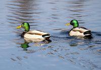 Mallard Duck Saskatchewan