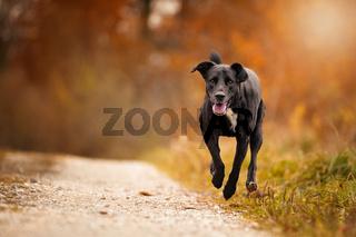 Hund, Labrador-Mix rennt springt im Herbst auf einem feldweg im herbstlichen Wald