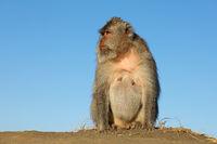 Balinese long-tailed monkey (Macaca fascicularis)