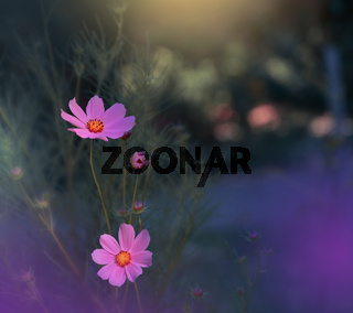 Beautiful Nature Background.Floral Art Design.Abstract Macro Photography.Cosmos Flowers.