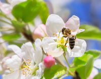 Bee on a white apple blossom