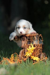 Australian Shepherd Welpe