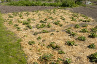 Mulched Strawberry field at the garden, North Rhine-Westphalia, Germany, Europe