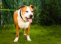 Staffordshire Amstaff dog recovered health after stroke. Dog health concept.
