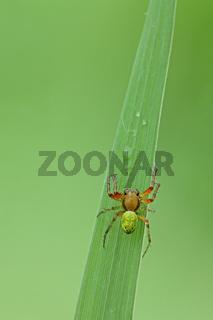 Kuerbisspinne (Araniella cucurbitina)