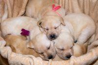Labrador puppies sleeping